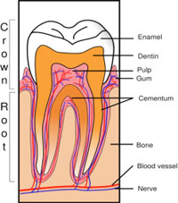 Home dialysis central dialysis and dental health what you need to tooth diagram teeth contain four types of tissue see figure 1 ccuart Image collections